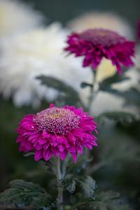 Chrysanthemum-1462