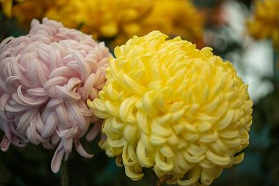 Chrysanthemum-1471