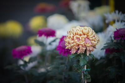Chrysanthemum-1451