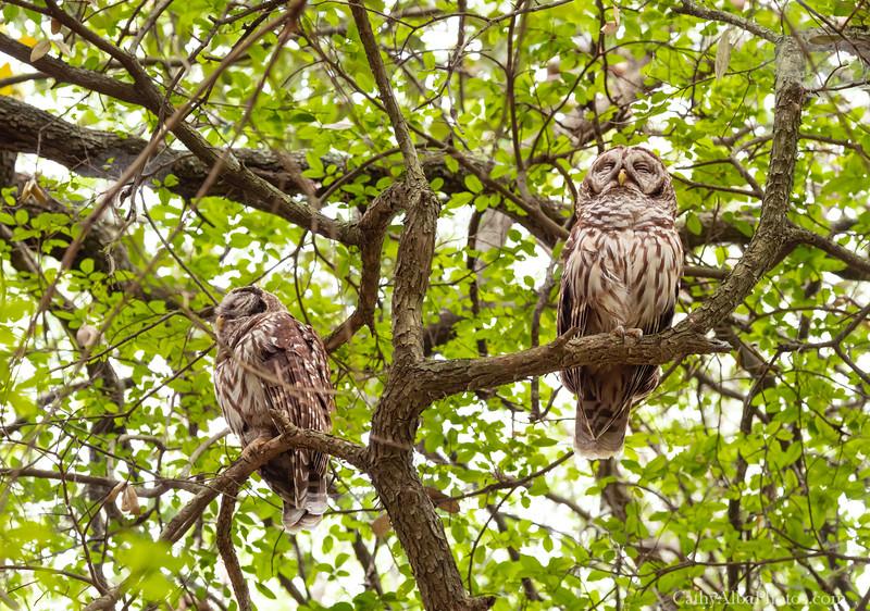 Sleepy Barred Owls