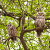 Sleepy Barred Owls
