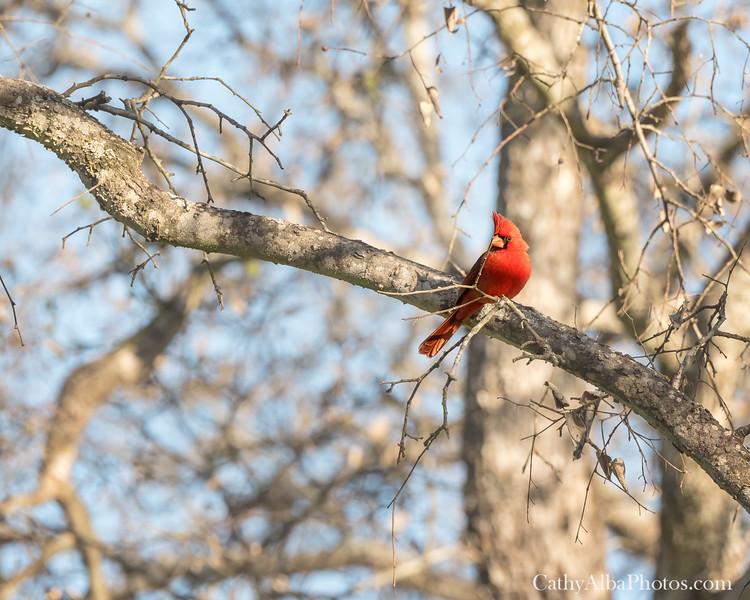 Male Cardinal 1