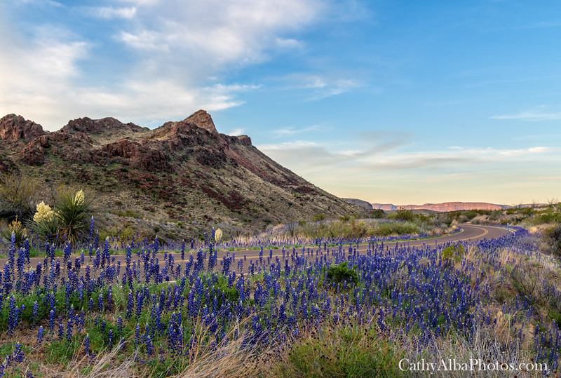 West Texas Bluebonnets