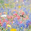 Black-chinned Hummingbird in the Texas Wildflowers