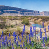 Big Bend Bluebonnets at Santa Elena Canyon