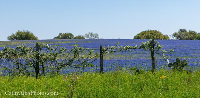 Bluebonnets in Poteet, Texas