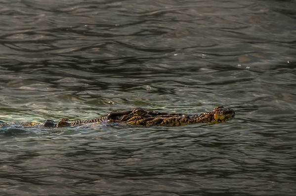 Crocodile off the Daintree Forest in Australia