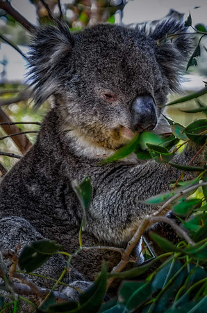Koala in the Blue Mountainst in Australia