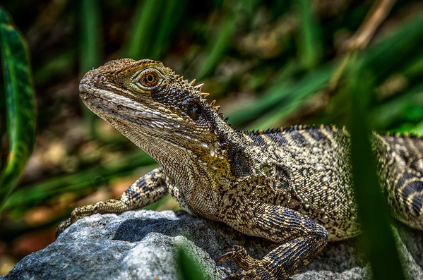 Australia's Water Dragon -   Protected $3300 or 6 months in prison for taking an Eastern Water Dragon.
