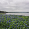 Bluebonnets in the rain