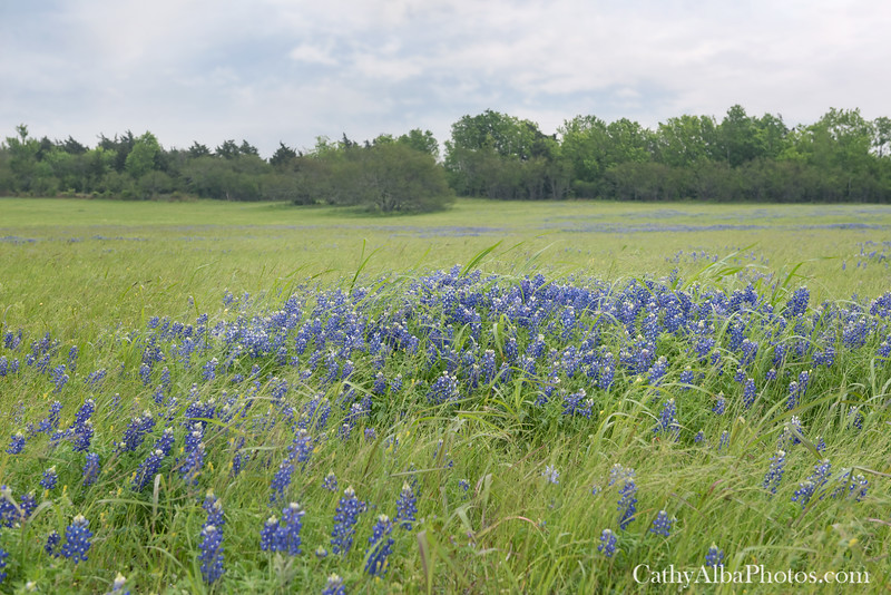 Bluebonnets in the Wind