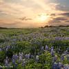 Sunset over the Bluebonnet Fields