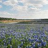 Bluebonnets at Muleshoe Bend