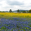 Bluebonnets and Groundsel