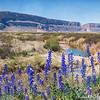 Big Bend Bluebonnets at Santa Elena Canyon