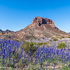 Bluebonnets below Cerro Castellan