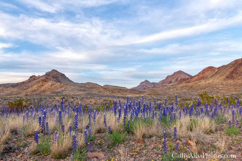 Big Bend Bluebonnets lie below the mountains.