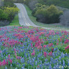 Bluebonnets and Prairie Paintbrush