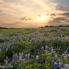 Sunset over the Bluebonnet Fields