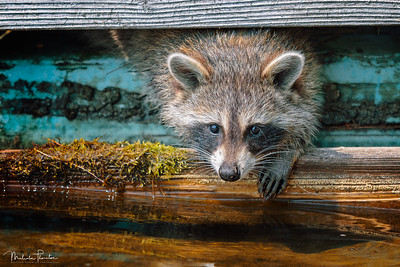 Raccoon on the Docks