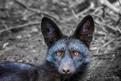 Eyes of the Silver Fox