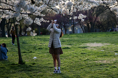 A woman takes a photograph as a wind gust blows Cherry Blossom petals off of trees around her