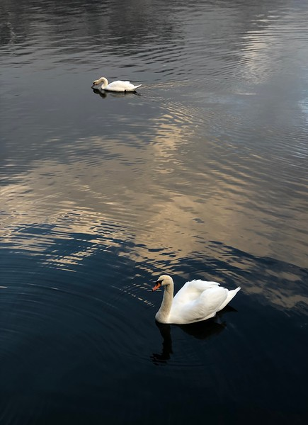 Swans floating in the waters of Hallstättersee. December 2018.