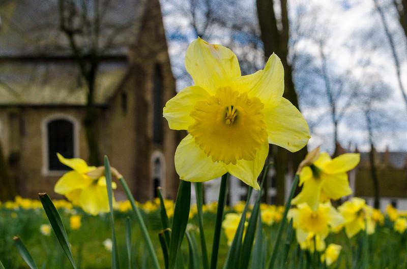Daffodil in Begijnhof