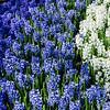 Hyacinth in Keukenhof