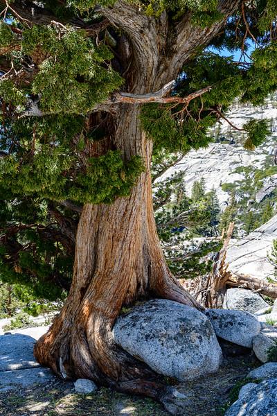 Tree engulfing a boulder.