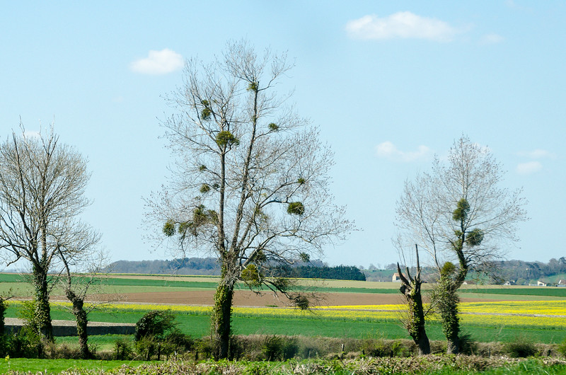 Mistletoe Growing in Normandy