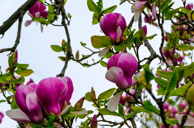 Magnolia in Geneva