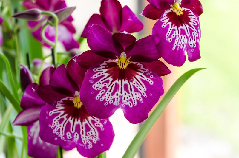 Orchid in Keukenhof
