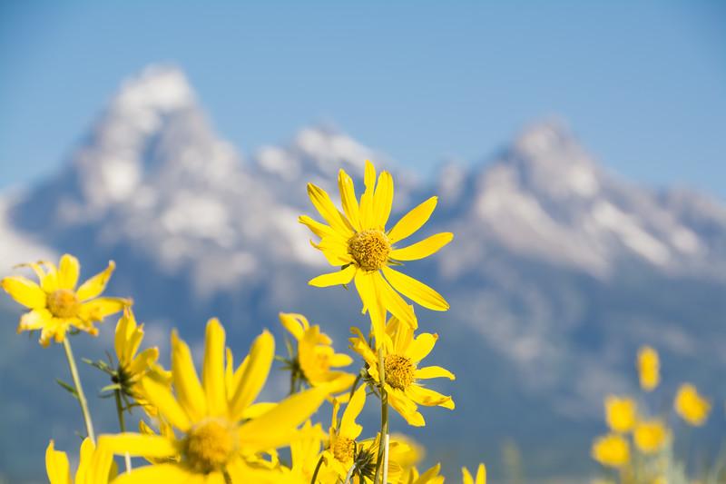 Flower in Grand Tetons Area