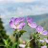 Mountain Wild Flower