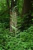 Crested Woodfern