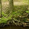 Shagbark hicklry on stream edge