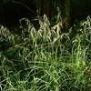 Fowl meadow grass