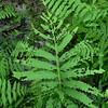 Sensitive fern gypsy moth damage