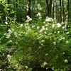 Multiflor rose invasive