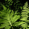 Sensitive fern and Massachusetts fern