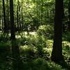 Wetland, maples