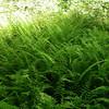 New York fern ground cover