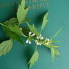 Motherwort (mint family; non-native)