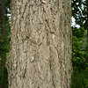 Bark of American Elm?