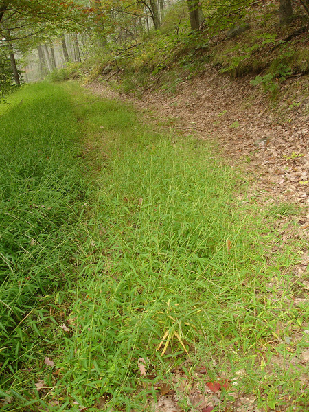 stilt grass?