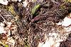 fern roots