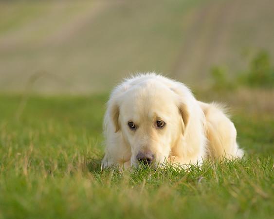 Cute Golden Retriever photograph