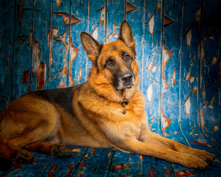 German Shepherd in Studio