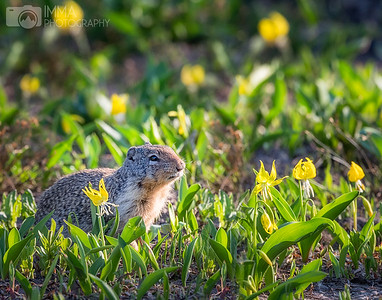 Columbian Ground Squirrel 2